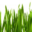 Grass wheat — Stock Photo #5511580