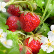 Strawberries and flower — Stock Photo #5512216