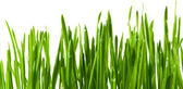 Grass wheat — Stock Photo