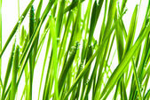 Green grass — Стоковое фото