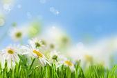 Daisywheel flowers — Stock Photo