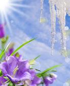 Campanula bloem — Stockfoto