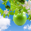 Apple green — Stock Photo #5539868