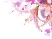 Rosa blumen — Stockfoto