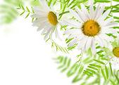 White daisywheels — Stock Photo