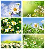 Collection daisywheel — Stock Photo