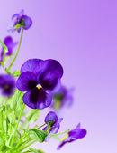 Flowers blue — Stock Photo