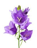 Mavi çiçekler — Stok fotoğraf