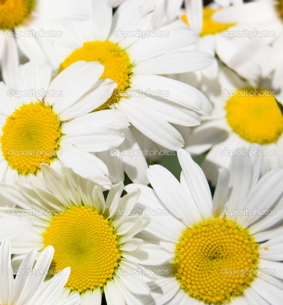 Background from white flowers daisywheels — Stok fotoğraf #5876791
