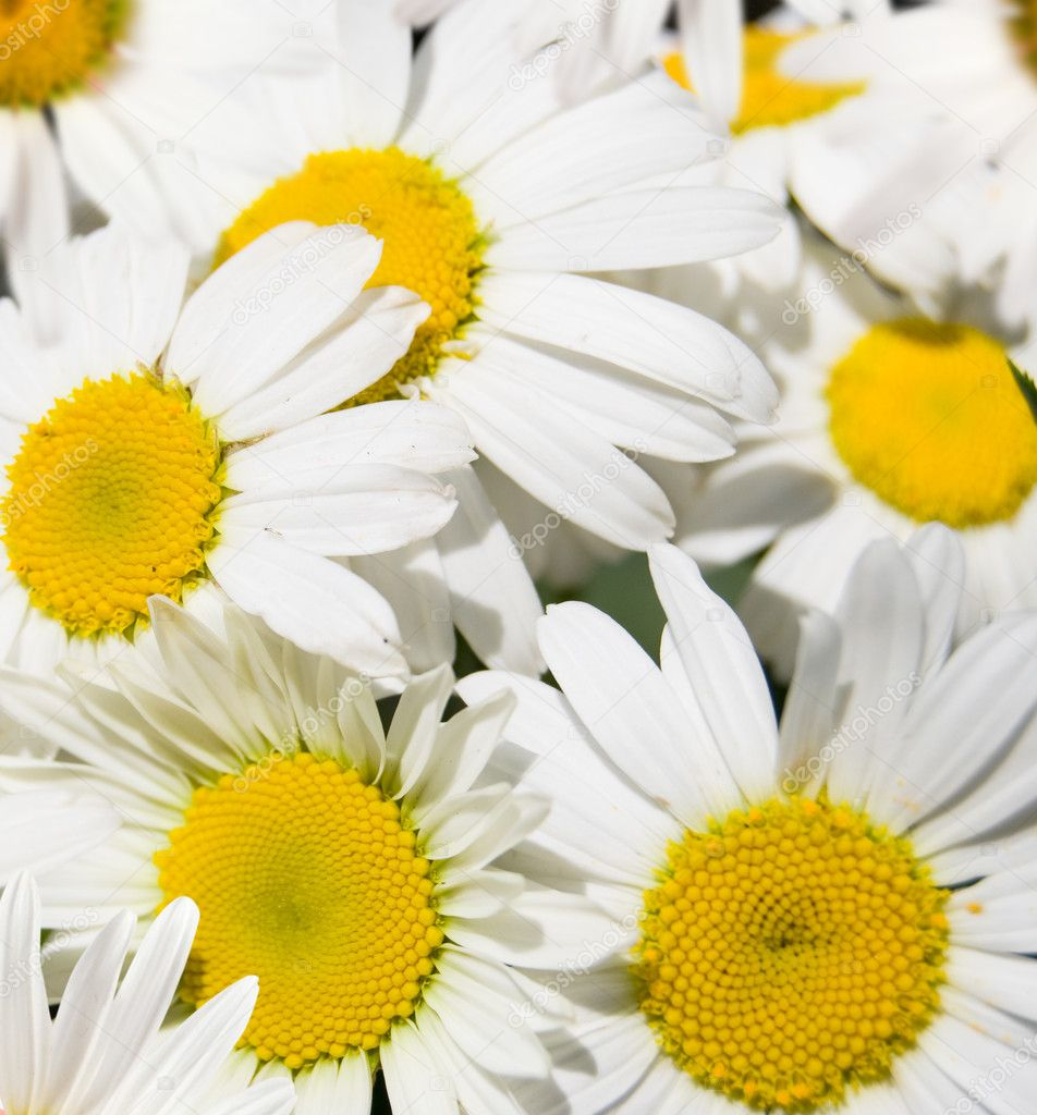 Background from white flowers daisywheels — Foto Stock #5876791