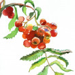Branch of rowan - Stock Photo