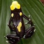 ������, ������: Poison dart frog