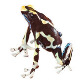 Poison dart frog — Stock Photo