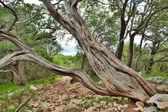 Old pine tree trunk — Stock Photo