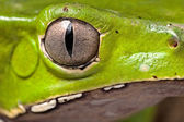 Amphibian eye green frog — Stock Photo