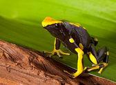 Poison dart frog on leaf — Stock Photo