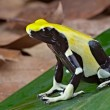 Yellow and black poison dart frog — Stock Photo