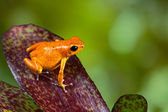 Orange Dendrobatidae grenouille grenouille sur feuille — Photo