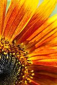 Part of sunflower. — Stock Photo