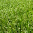 Ripe ricefield — Stock Photo