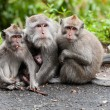 Balinese monkey family — Stock Photo