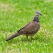 Spotted dove — Stock fotografie