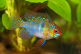 A male apistogramma ramirezi — Stock Photo