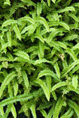 Background of ferns — Stock Photo