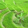 Rice terrace — Stockfoto
