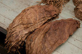 Tobacco leafs — Stock Photo