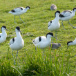 Avocets and redhanks — Foto Stock