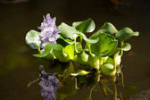 Floating water hyacinth — 图库照片