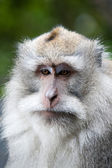 Macaque on bali — Stock Photo