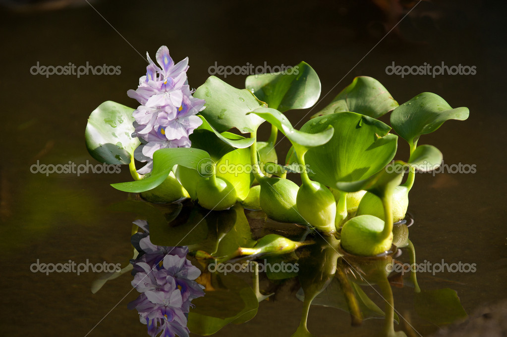 Floating water hyacinth with reflextion  — Stock Photo #6148007