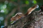 Squirrel in bali — Stock Photo