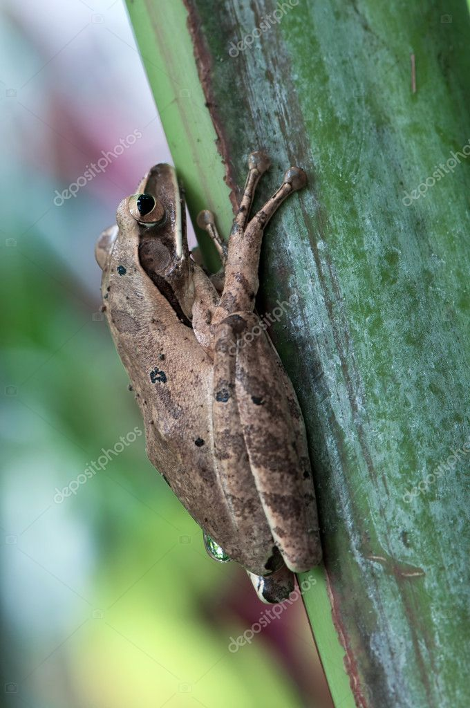 Asian treefrog in the rain — Stock Photo #6449742