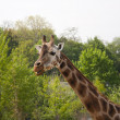 Giraffe, zoo in Prague — Stock Photo