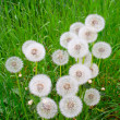 Stock Photo: White, fluffy dandelion