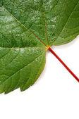 Green leaf — Стоковое фото