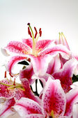 Pink lilies over white background — Stock Photo