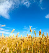 Golden wheat field with blue sky in background — Stock Photo
