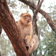 Macaque — Stockfoto #5757388