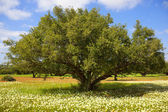 Argan tree with nuts on branches — Foto de Stock
