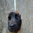 Stock Photo: Dog In Fence