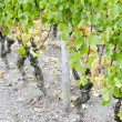 White grape in vineyard — Stock Photo