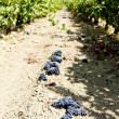 Stockfoto: Vineyard with blue grapes, La Rioja, Spain