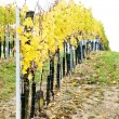 Stock Photo: Vineyard in autumn