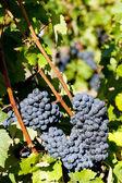 Blue grape in Bordeaux Region, Aquitaine, France — Stock Photo