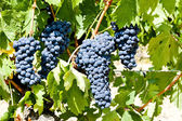 Blue grape, La Rioja, Spain — Stock Photo