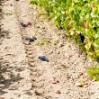 Vineyard with blue grapes, La Rioja, Spain — Stock Photo